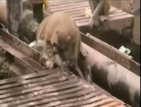 monkey-saving-electrocuted-friend