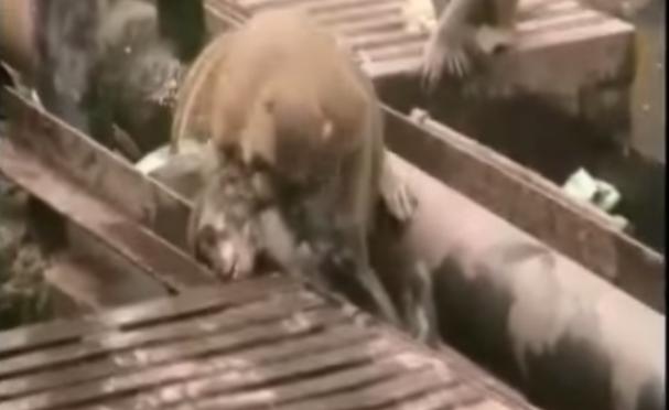 線路で感電した仲間を蘇生させた野生の猿 – インド